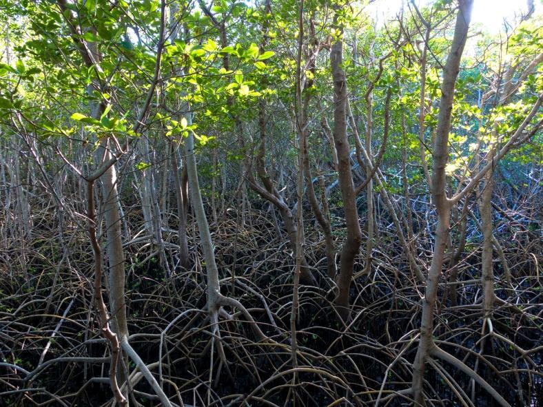 Mangroves, Weedon Island Preserve, St. Petersburg, FL.